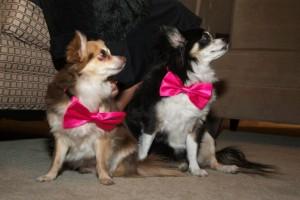 The Sawchuck puppies